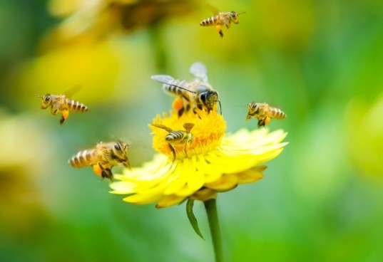 bees, pollinator, agriculture, US Dept of Agriculture, Environmental Protection Agency, EPA, Bayer, neonicotinoids, pesticides, news, environment, colony collapse disorder