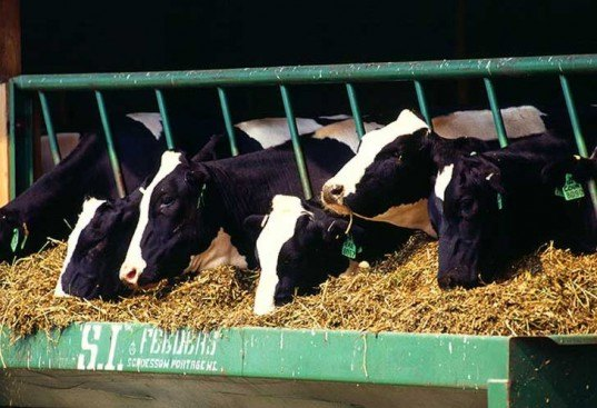 holstein, dairy cows, yogurt, byproduct, waste, acid whey