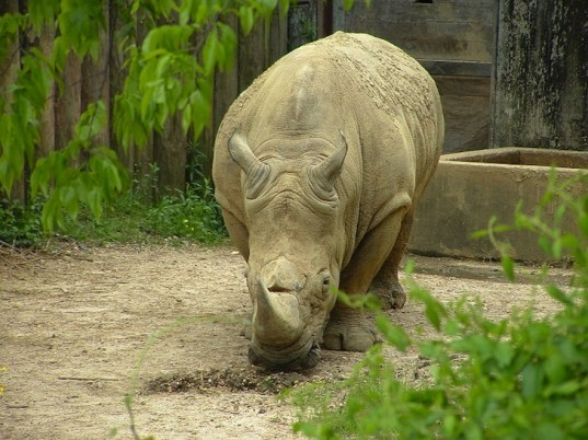 Western black rhino, Northern white rhino, Southern white rhino, IUCN, Red List of Threatened Species, nature conservation, wildlife conservation, poaching, habitat destruction, amphibian, fauna and flora,