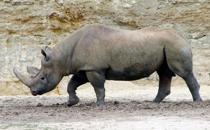 Image result for western black rhino