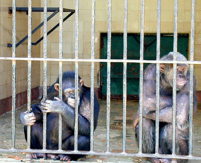 The National Institutes of Health Ends Chimp Testing, Over 300 Animals to Be Released