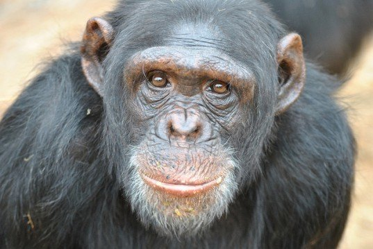 caged chimpanzees, animal testing, animal rights, animal abuse, NIH, government laboratories, chimpanzees