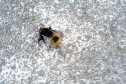 Dead bumble bee, bee, bumble bee, dead bee, colony collapse disorder