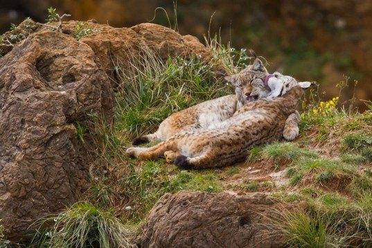 Southern Spain, Andalusia, wildlife conservation, Iberian lynx, European Union, Donana National Park, Sierra Morena, wildcat, environment, news