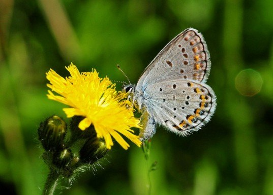 Endangered Karner Blue Butterfly