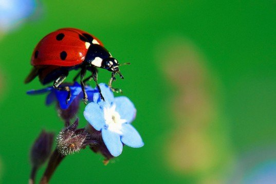 Ladybug and forget-me-not