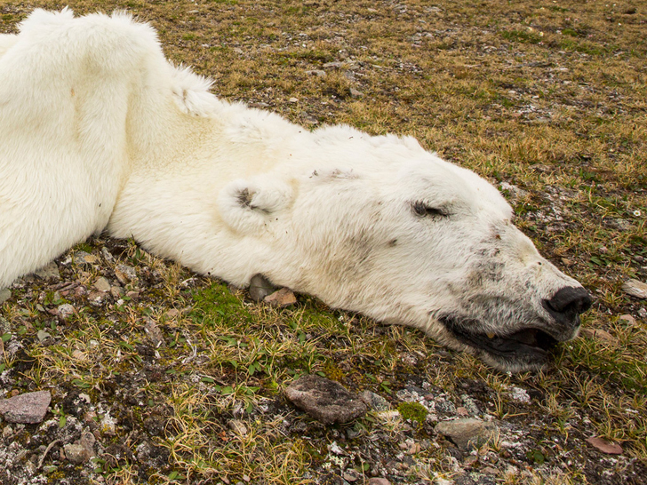 Polar Bear Tragically Starves to Death Because of Global Warming