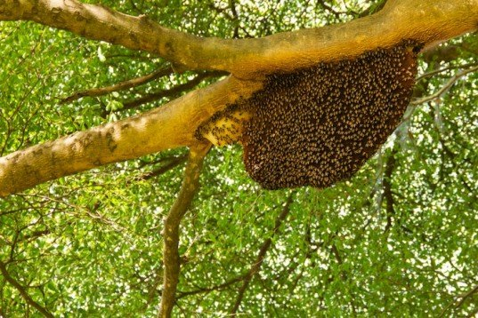 honeybees, Africanized bees, killer bees, super bees, weather changes, global warming, changing weather changes bees behavior, animals, climate change