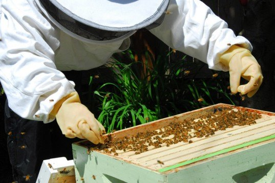 bees, colony collapse disorder, bee die-offs, mass bee die-off, honeybees, bee colony, beehive