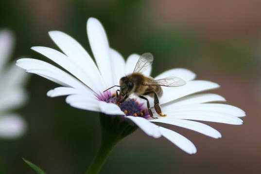 bees, bee die-off, honeybees, colony collapse disorder, pollination, pesticides