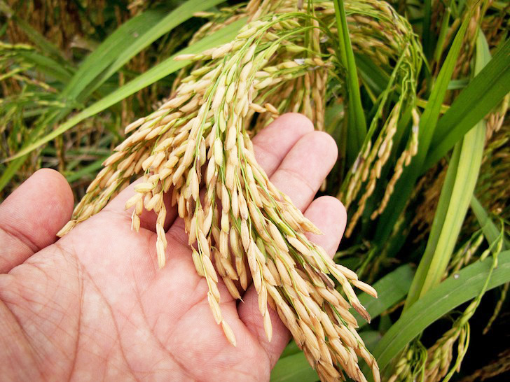 Japanese Scientists Develop Pioneering Drought-resistant