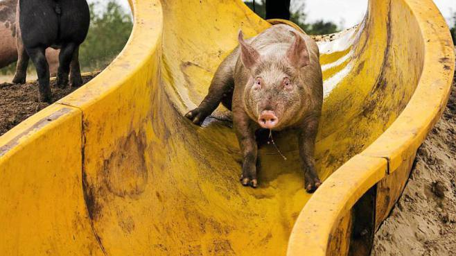 Dutch Pigs Keep Cool with Their Own Water Slide