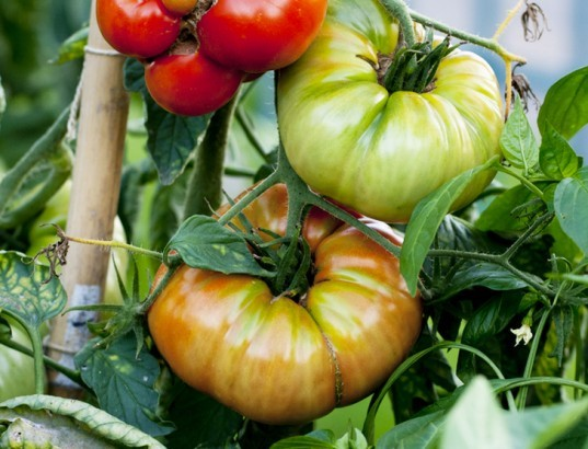 save tomato seeds, saving tomato seeds, seed saving, heirloom tomatoes, tomato seeds, saving seeds, growing tomatoes from seed, seed bank, heirloom seeds, tomato gardening