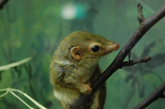 biomimicry, bioinspired design, asknature, pen-tail treeshrew, palm wine, alcoholism, the biomimcry manual, tree shrew, curing alcoholism, curing addiction