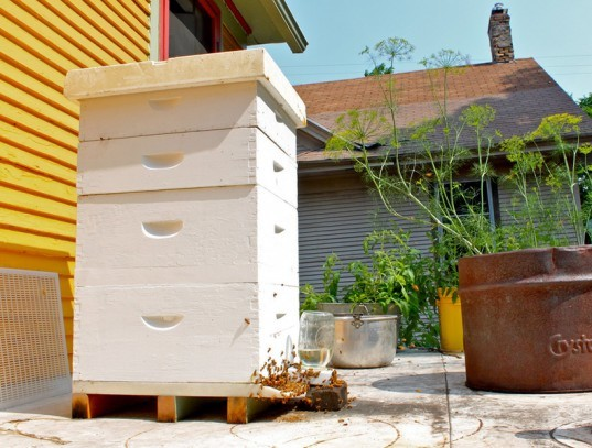 Urban bee keeping, Urban bee hives, Urban bees, bee keeping, bee hives, bee death, honey bee deaths, colon collapse, colony collapse disorder, honey bee colony collapse, bee colony collapse, urban hive death, urban bee hive deaths, urban bee hive food, urban bee hive disease, bee hive food, bee hive colonies, honey bee food, honey bee populations, honey bee disease, The Biologist, The Biologist magazine