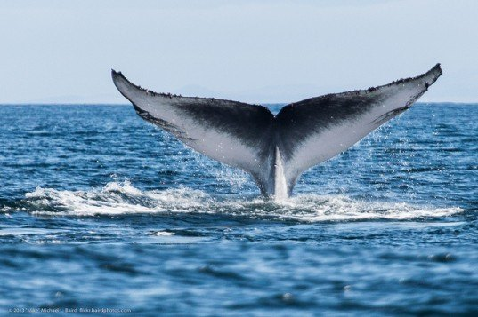 commercial shipping, global shipping, whales, whale collisions, san francisco, whale spotter application, whale spotter, san francisco bay, whale spotting, whales