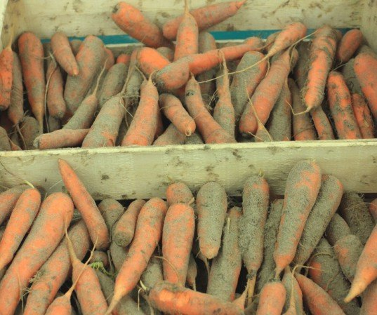carrots, carrots in sand, storing carrots