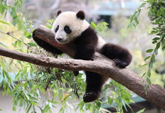 8 adorable endangered species, vulnerable species, species facing extinction in the wild, giant panda, polar bear, climate change, hector's dolphin, maui's dolphin, trawl fishing, borneo pygmy elephant, loss of continuous forest, black-footed ferret, giant tortoise, stellar sea lion, overfishing, chimpanzee, bushmeat