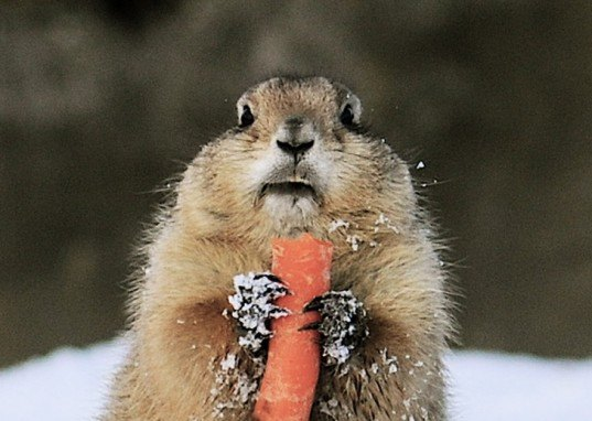 groundhog, woodchuck, carrots, winter garden, garden animals