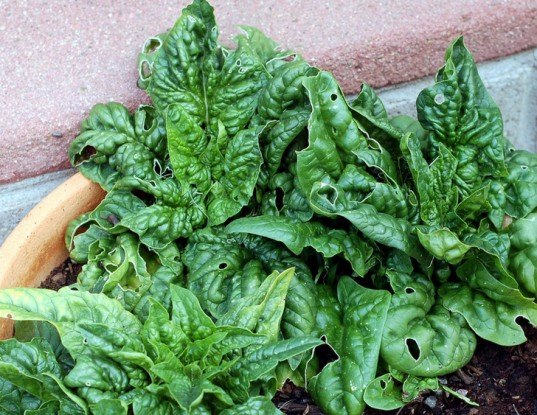 Spinach, winter spinach, spinach salad, winter greens, growing spinach
