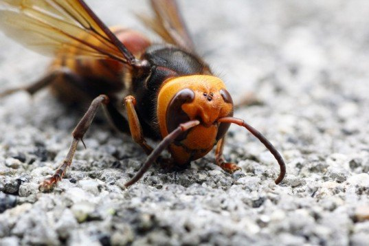 asian giant hornet, global warming, honeybees, eating bees, hornet, venom, insects, fatal