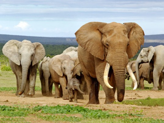 Is Google Helping Poachers Sell Illegal Ivory Online?