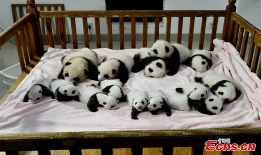 captive breeding in panda bears essay Students discuss endangered and threatened species and learn about captive-breeding programs  pandas: suffering habitat  there are more members in captivity.