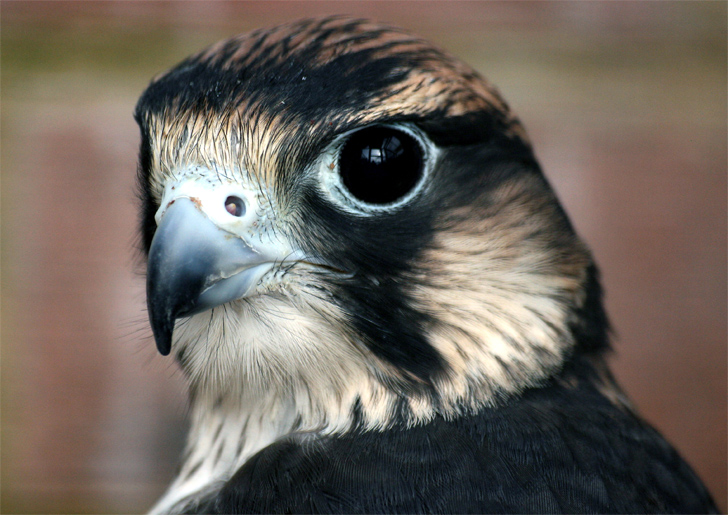 Did You Know That A Peregrine Falcon Can Fly As Fast As A Formula One Race Car Or That Great Horned Owls Can Carry Prey Several Times Heavier
