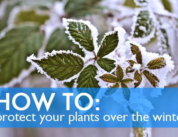 winter garden, trees, tree protection, burlap wrapped trees, mulch, mulching, tree mulch, cloche, greenhouse, protect plants during winter, growing during winter, how to keep plants alive during winter