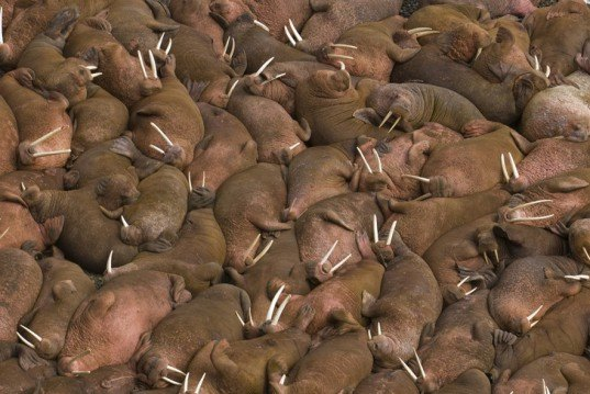 point lay, noaa, walruses, walrus, alaska, barrier island, global warming, climate change, sea ice, arctic