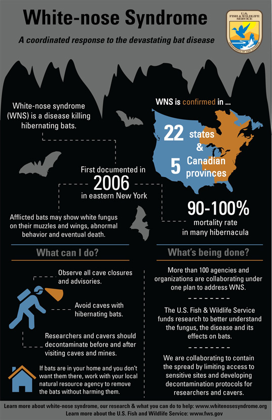 bats, white nose syndrome, infographic, US Fish & Wildlife Service, animals, conservation, endangered species, endangered animals, environmental conservation, halloween