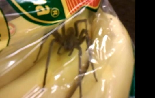 green design, eco design, sustainable design, Brazilian Wandering Spiders, Consi Taylor, Sainsbury, spiders found in bananas, venomous spiders, poisonous spiders, banana spiders