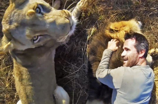 GoPro video of lions, lion preservation, lion whisperer, Kevin Richardson, lion reserve in South Africa, kevin richardson wrestles with lions, man becomes part of a lion pride