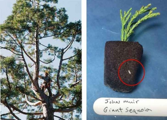 johm muir, giant sequoia, archangel ancient tree archive, clone