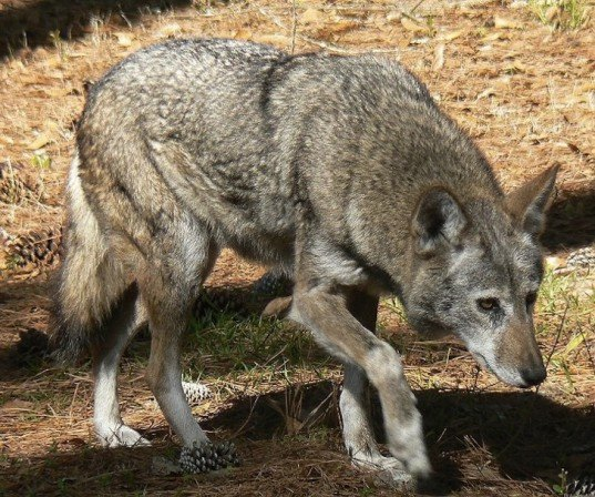 red wolves, U.S. Fish and Wildlife Service, critically endangered species, coyotes, red wolf hunting, north carolina, The Endangered Species Act, north american red wolf, Red Wolf Recovery Area, captive breeding program, illegal poaching