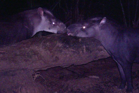 kabomani, karitiana, perissodactyl, saola, tapir, Tapirus kabomani, Tapirus terrestrius, Theodore Roosevelt, largest terrestrial animal discovery since 1992, biggest animal discovery of the 21st century, new pygmy tapir discovered, kabomani tapir in brazil and colombia