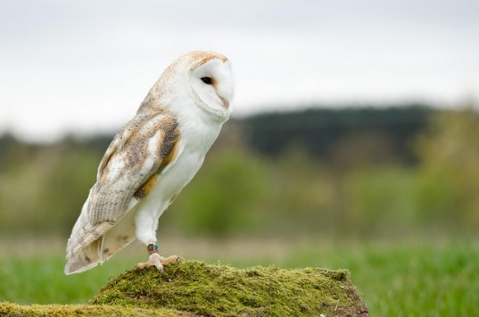 Four Years of Extreme Weather has Killed Thousands of UK Barn Owls