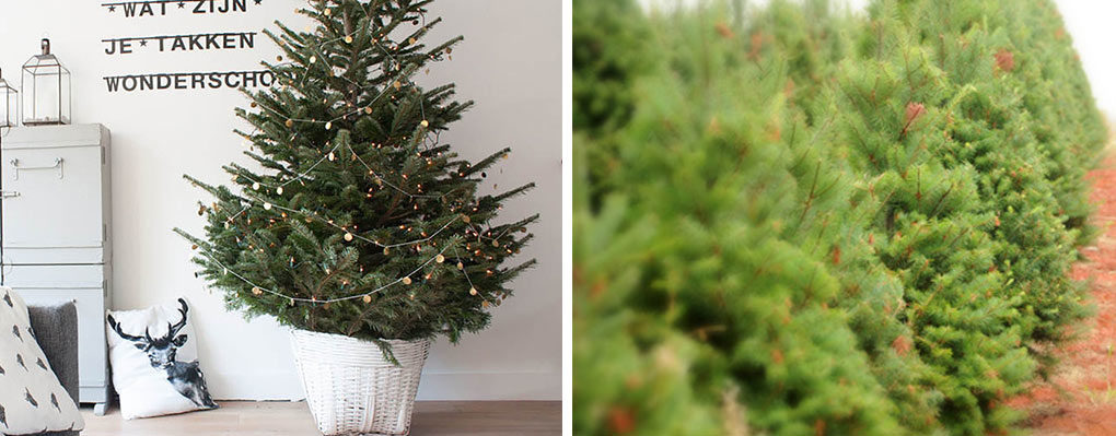 How to choose a living tree to replant after Christmas | Inhabitat ...