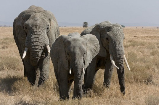 elephant poaching, illegal poaching, elephant population, central africa, elephant summit, Convention on International Trade in Endangered Species, John E. Scanlon, ivory trade, african elephants, elephant extinction, ivory tusk, CITES
