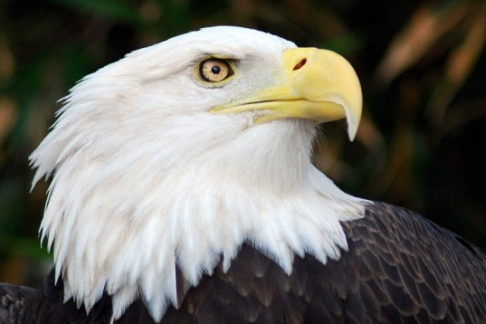 US Government Allows Certain Wind Farms to Kill Bald Eagles for 30 Years