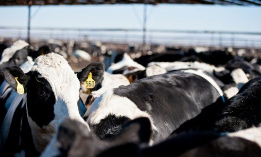 methane emissions, meat, tax, scientists, global warming, cattle, livestock