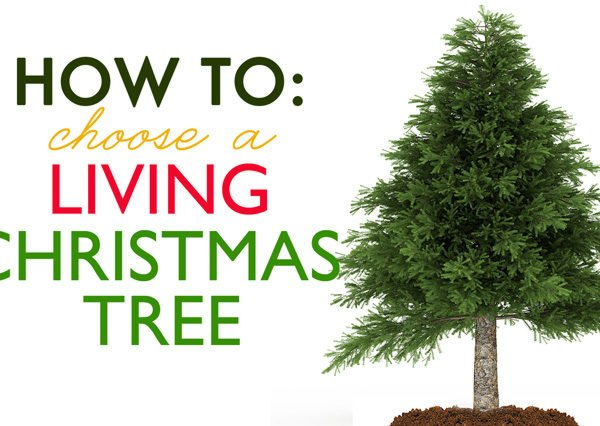 Plantable Christmas Tree.How To Choose A Living Tree To Replant After Christmas