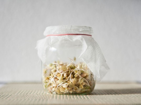 Bean sprouts, sprouting beans and seeds, seed sprouting, bean sprouting, sprouting in jars
