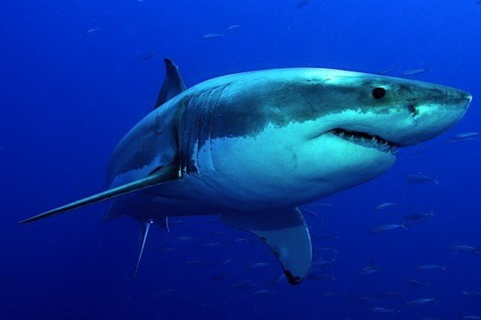 Solar-Powered Tags Give Threatened Shark Species a Fighting Chance