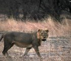 West African Lion Alarmingly Close to Extinction, New Study Finds