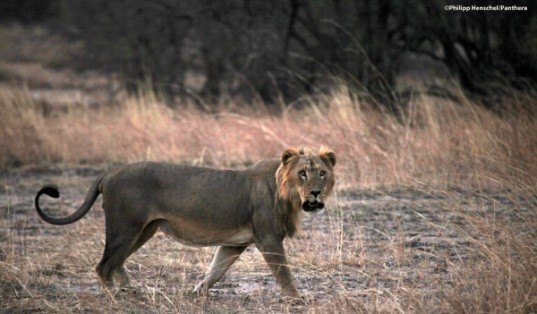 west african lion, endangered species, critically endangered, extinction, poaching, panthera