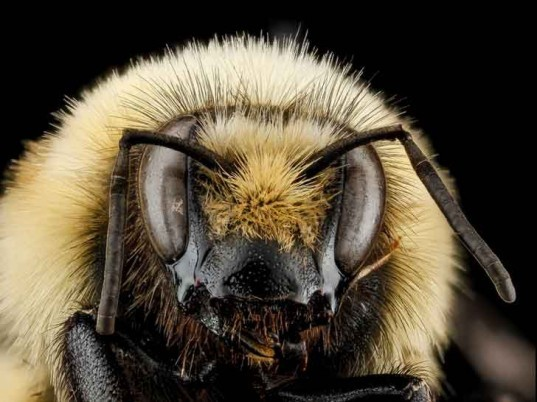 sam droege, usgs bee inventory and monitoring lab, bee conservation, macro photography, insect, pollinator
