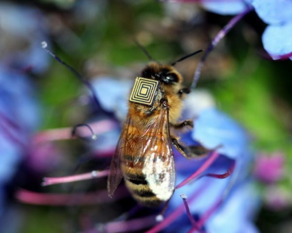 bees, honeybee, australia, colony collapse disorder, tasmania, rfi, sensor,