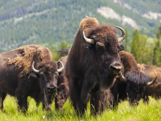 green design, eco design, sustainable design, biobullets, brucellosis, Yellowstone National Park, Yellowstone bison, bison vaccine