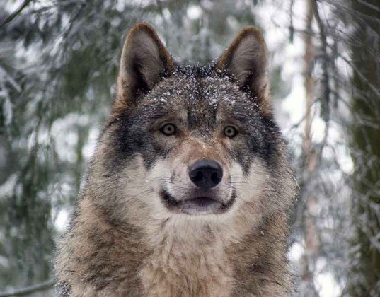 top predator, carnivore, keystone species, carnivore cleansing, grey wolf
